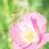 ポピーと蜜蜂