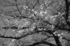 夜桜/Acros