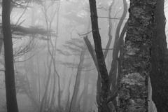 霧に包まれたブナ林