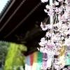 桜咲く〜六角堂