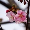 河津桜の咲き始め。