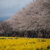 水仙と桜並木