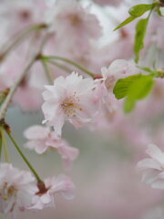 南瀧不動尊の十月桜