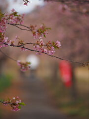河津桜の小径