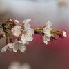 不動寺の桜