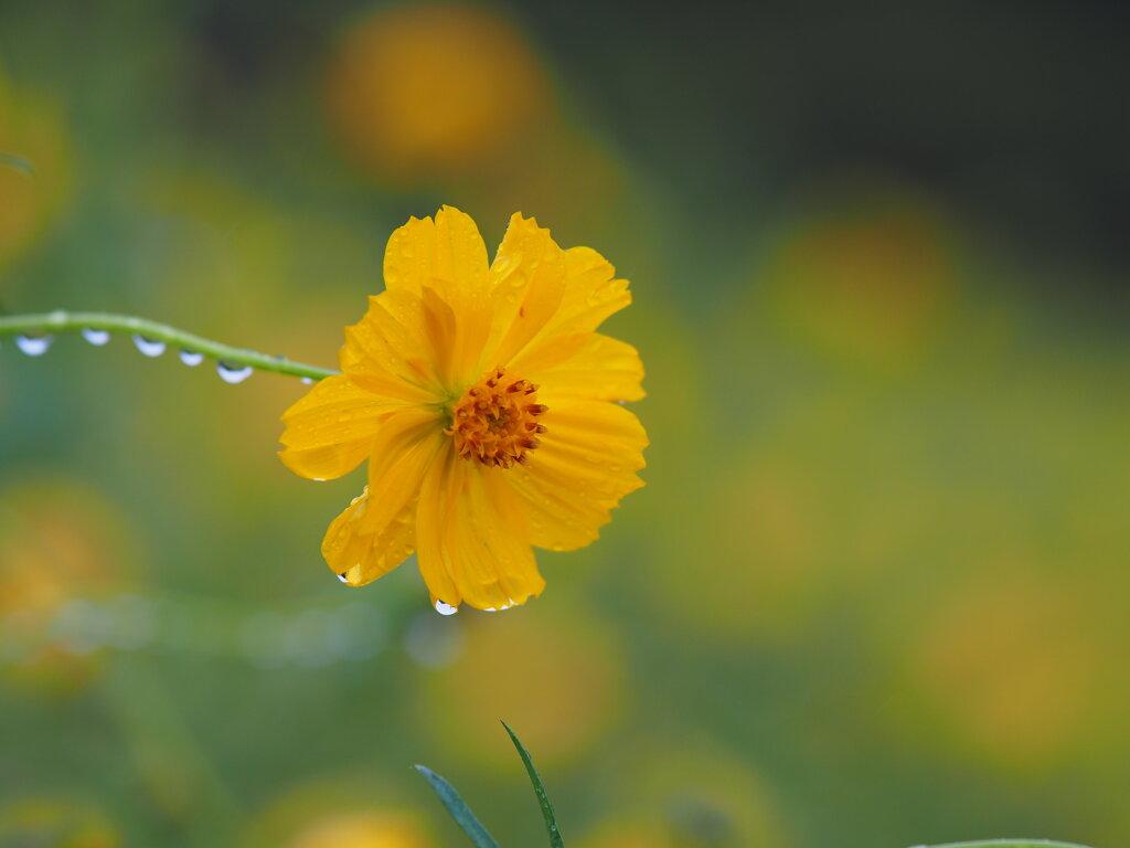 キバナコスモス…雨