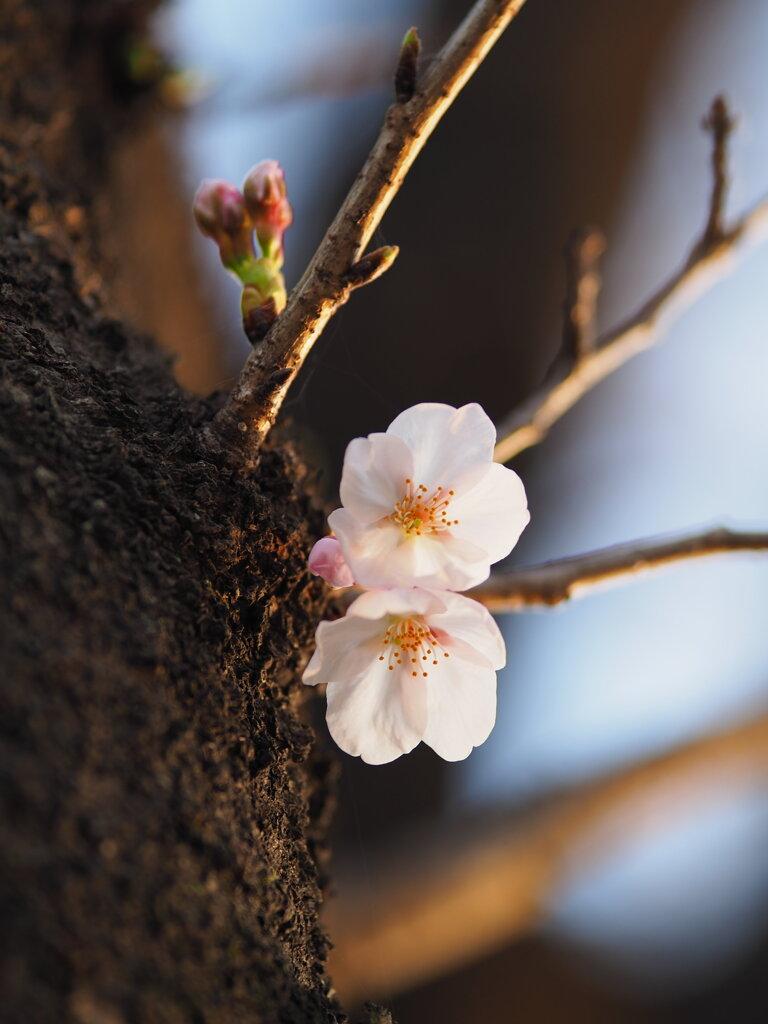 夕日の桜 Ⅲ