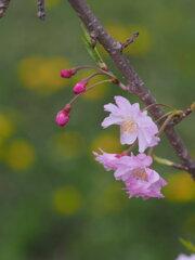 十月桜と蒲公英