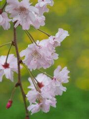 十月桜と蒲公英 Ⅱ