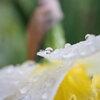 花弁の雫 Ⅱ