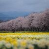 水仙と桜並木 Ⅱ