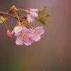 小径の河津桜