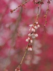 南瀧不動尊の枝垂れ桜
