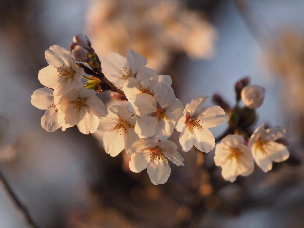 夕日の桜 Ⅴ