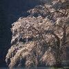 桜の足元に Ⅱ