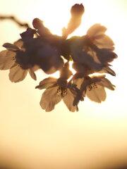 夕日の桜 Ⅳ
