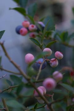 色づくブルーベリーの実