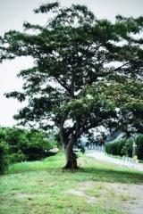合歓の木3