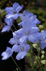 千鳥草のブルー