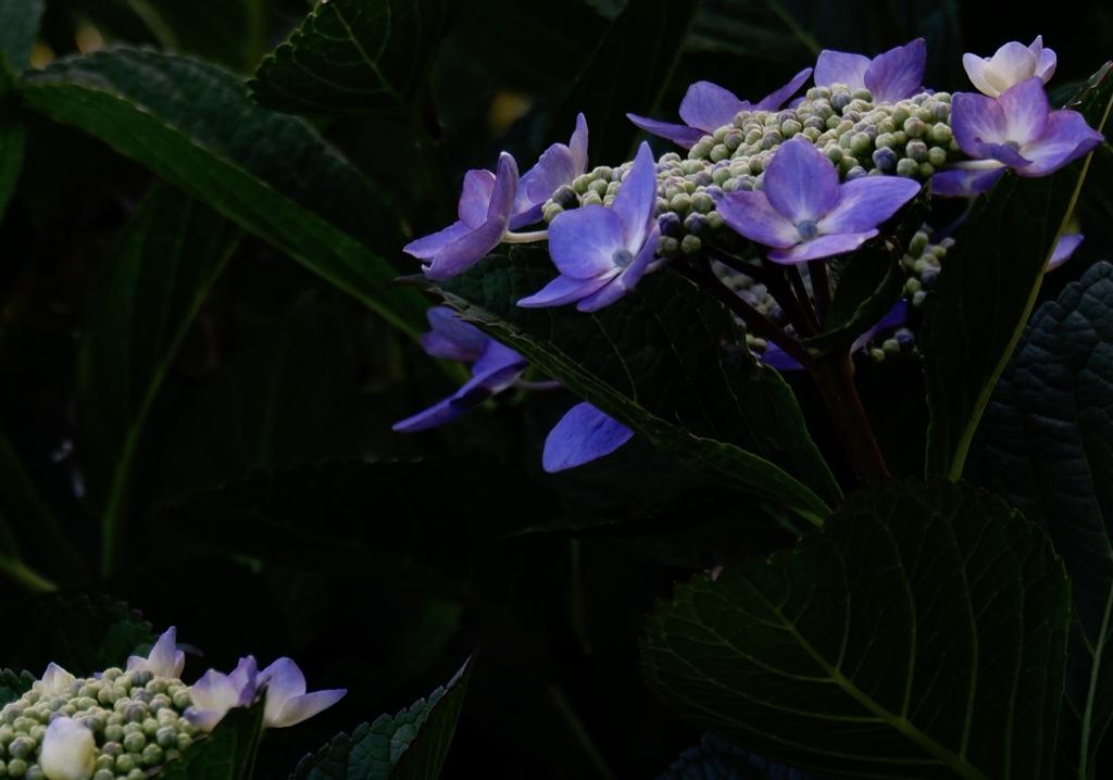 夕暮れの紫陽花2