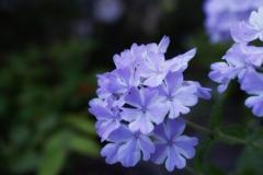 涼感誘うバーベナの花
