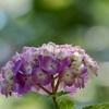 晴れ紫陽花