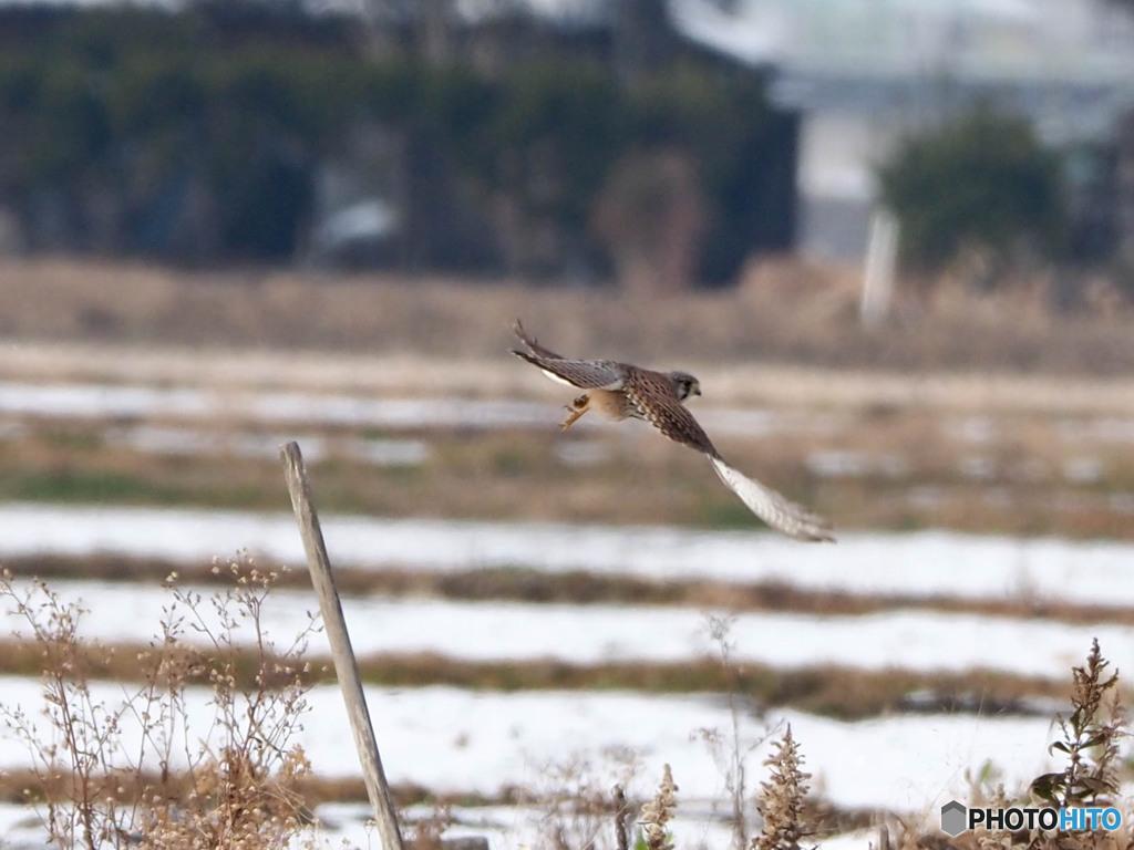雪原をチョウゲンボウ飛ぶ02