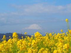 比較用:吾妻山公園 菜の花畑