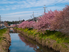 久喜の河津桜