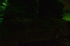 ほたる③ 鳴淵ダム 下流河川公園