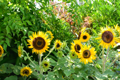 Sunflower in the flowerbed