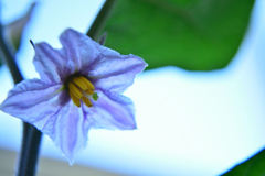 茄子の妖精 開花②