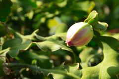ミニドラゴンフルーツ