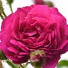 雨上がりの薔薇④
