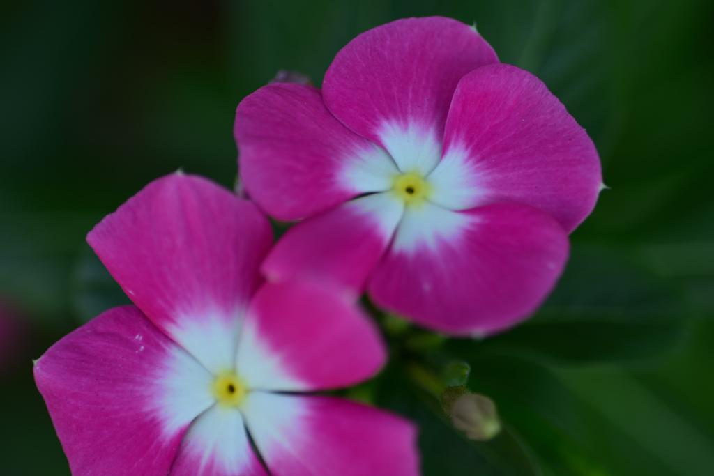 ニチニチソウ紫