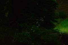 ほたる② 鳴淵ダム 下流河川公園