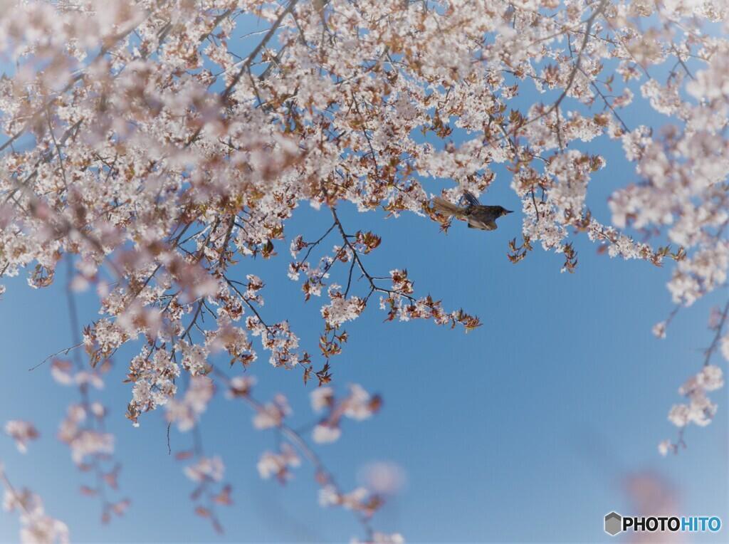北国の桜.1