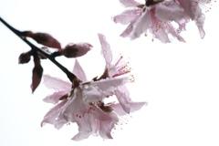 我が家の桃の花