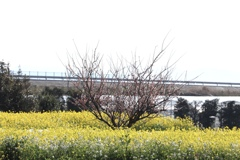 菜花の中心に梅花