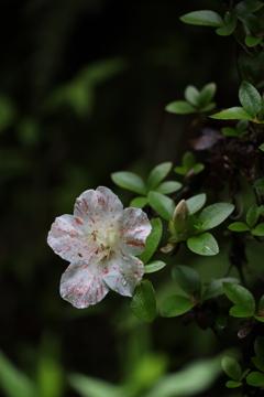 サツキの花!