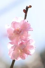 菅原神社の梅の花