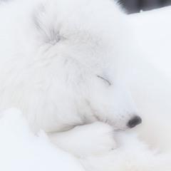 くすっ♪~White wolf~