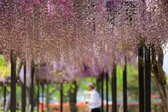 降り注ぐ淡い紫