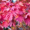 紅葉狩る 良い色に染まりまして