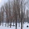 冬のポプラ並木 前田森林公園より