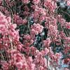 桃色の枝垂桜