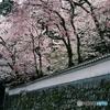 高い塀に桜