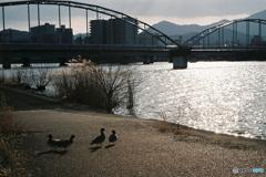 日暮れの鴨たち