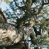 生い茂る松