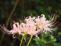 ピンク色の彼岸花